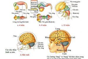 Bạn đã biết: Cấu tạo não bộ ở trẻ và đặc điểm hệ thần kinh của trẻ chưa?