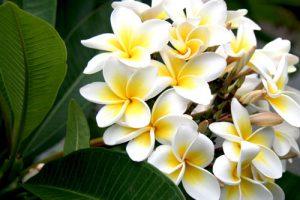 Bật bí 5 công dụng của hoa sứ mà ít ai biết đến